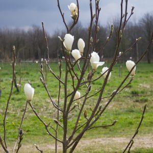 Boom van de maand: April (Magnolia denudata)