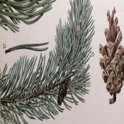 Pijnboom, Pinus sylvestris (2-naalden)
